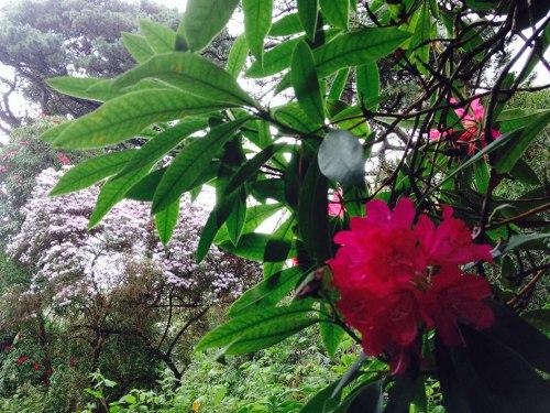 rhododendron garden08