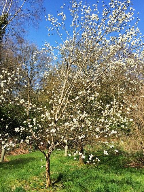 altamont magnolia
